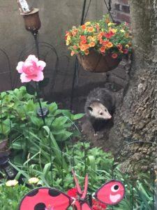 Possum visits the Old Tree