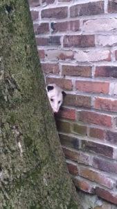 possum peek a boo