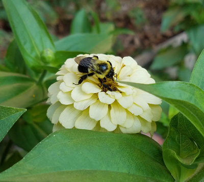 Bumble Bees in the Garden – It would be Cool to make Honey