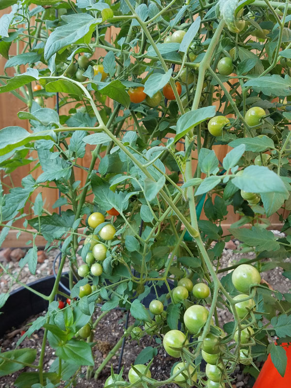 lots more cherry tomatoes 20160723