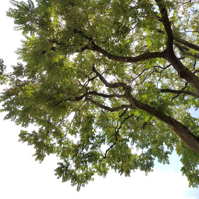 Tree of heaven – AILANTHUS – the Junk Yard Dog of Trees