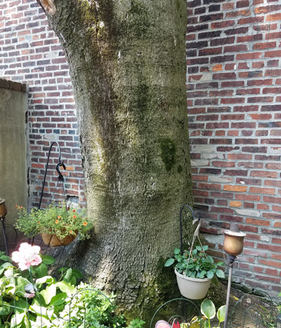 tree trunk in small space kissing the neighbors garage