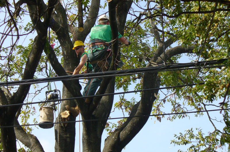 tree climbers getting ready for tree cable - tree safety is important